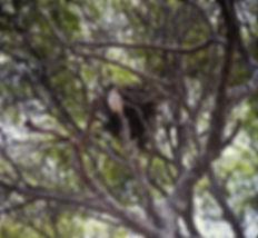 Madagascar Kestrel 02a, Berenty, 11_88.j