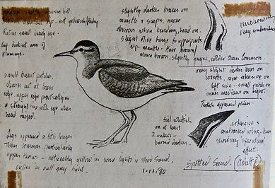Spotted Sandpiper, LAT 01, Peterstone Pi