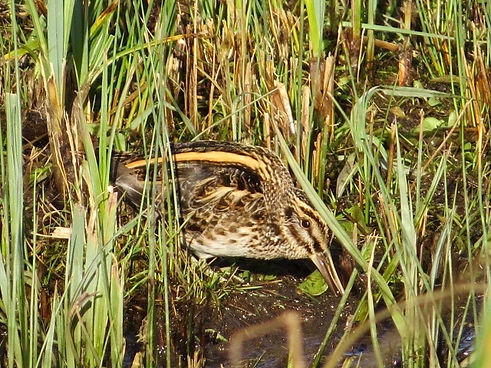 Jack Snipe 190108-06, Slimbridge.jpg