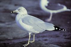 Ring-billed Gull 02aa, La Jolla, Califor
