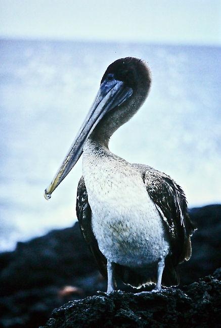 Brown Pelican 01a, Galapagos, 7_86.jpg