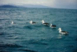 Shy Albatross 02a, Stewart Is NZ, 17-11-