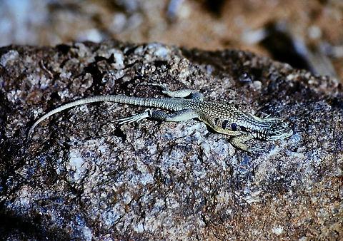 Madagascar Spiny-tailed Iguana 02a, Mada