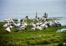 Australian Pelican 02a, Cairns, 12_93.jp