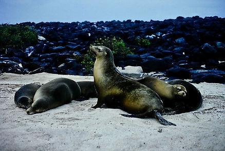 Galapagos Sea Lion 01a, Galapagos, 26_7_