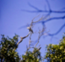 Cuckoo Roller 01a, Berenty, Madagascar,