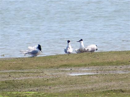 Sandwich Terns, Pagham Harbour, 19_6_17.