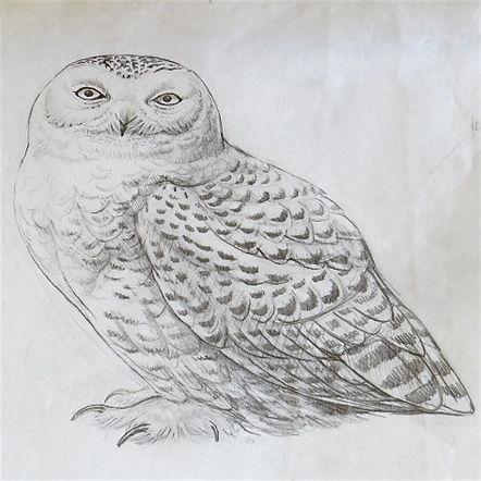 Snowy Owl, LAT, Shetland, 15_7_77.jpg