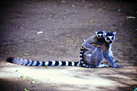 Ring-tailed Lemur 05a, Berenty, Madagasc