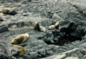 Galapagos Fur Seal 01a, Santiago, 27_7_8