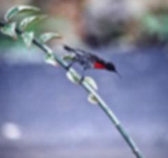 Hunter's Sunbird 01a, Kenya, 12_88.jpg