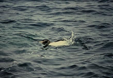 Galapagos Penguin 01a, Bartholome, 29-7-