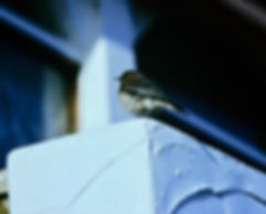 Pied Wheatear 03a, Torquay, 6-12-83.jpg