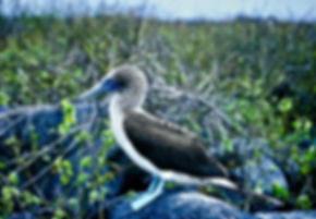 Blue-footed Booby 15a, Hood, Galapagos,