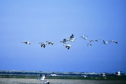 Snow Goose 07a, Maryland, 10_87.jpg