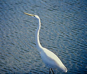 Great Egret 04a, Virginia, 19-10-87.jpg