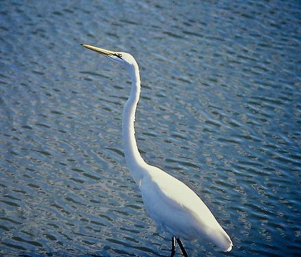 Great Egret 04a, Virginia, 19-10-87.jpg