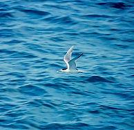 Crested Tern 02a, Michaelmas Cay, Aust,