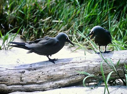 Common Noddy 05a, Michaelmas Cay, Aust,