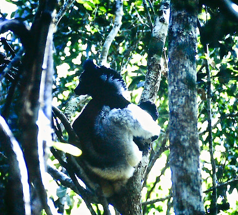 Indri 02a, Perinet, Madagascar, 21_11_88