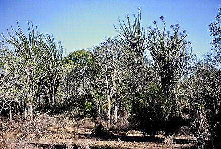 Octopus Tree 01a, Spiny desert, Hazofots