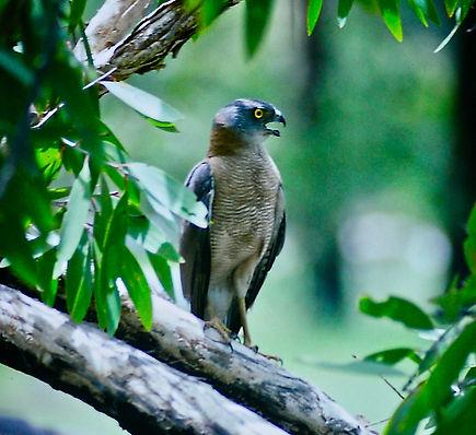 Collared Sparrowhawk 05a, Kakadu, Oz, 29