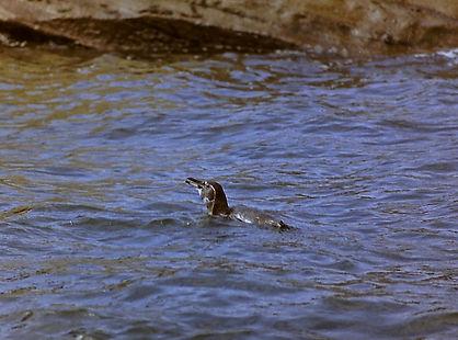 Galapagos Penguin 03a, Bartholome, 29-7-