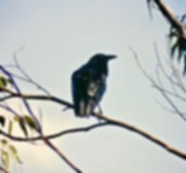 Australian Raven 01aa, Sydney, 4_12_93.j