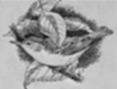 Icterine Warbler 1a, LAT, Portland, 9_8_