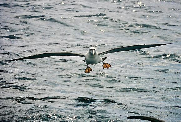 Shy Albatross 41aa, Stewart Is NZ, 17-11