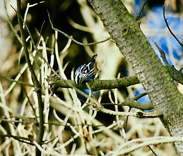 Black-and-white Warbler 02b, St Mary's,