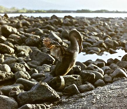 Flightless Cormorant 22a, Fernandina, Ga