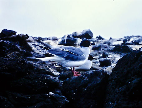 Swallow-tailed Gull 02a, Galapagos, 25-7