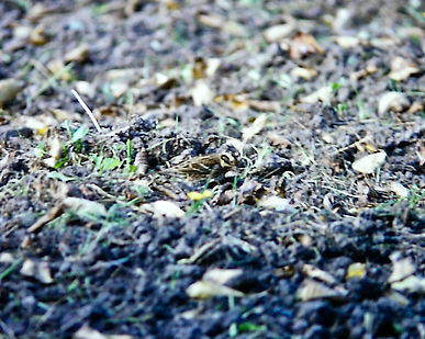 Rustic Bunting 01a, St Mary's, 16-10-77.
