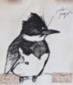 Belted Kingfisher, LAT 03, Camel Valley,