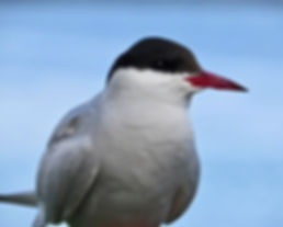 Arctic Tern 08, Farne Islands, 6_6_19.jp