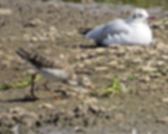 Ruff 180907-1, Slimbridge, 7_9_18.jpg