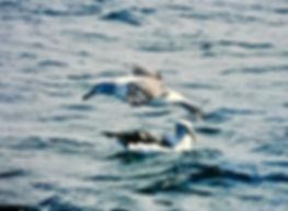Shy Albatross 38aa, Stewart Is NZ, 17-11