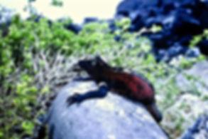 Marine Iguana 07a, Hood, Galapagos, 25-7