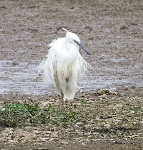 Little Egret 06a, Slimbridge, 13_9_14.jp