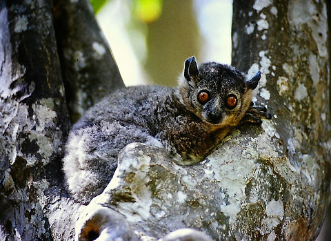 White-footed Sportive Lemur 07, Berenty,