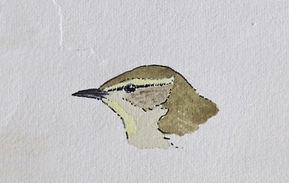 Radde's Warbler, LAT, Holkham, 26_10_75.