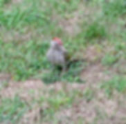 Green Woodpecker 180818-6, Juv, Elm Lodg