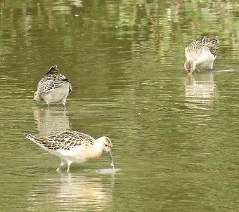Ruff 04a, Slimbridge, 13_9_14.jpg