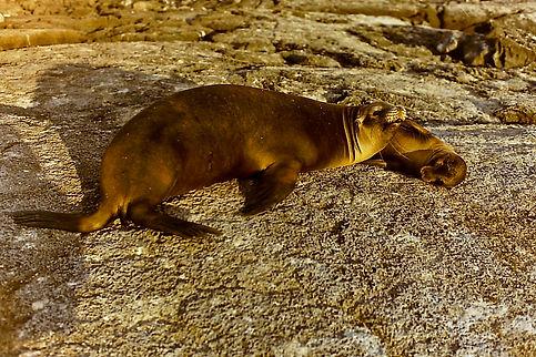 Galapagos Sea Lion 10a, Galapagos, 26_7_