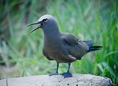 Common Noddy 04a, Michaelmas Cay, Aust,