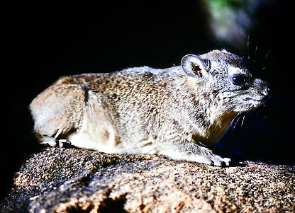 Black-necked Rock Hyrax 03a, Kenya, 12_8