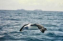 Shy Albatross 39aa, Stewart Is NZ, 17-11
