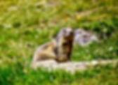 Alpine Marmot 04a, Italy, 8_97.jpg