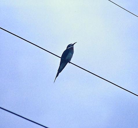 Madagascar Bee-eater 01a, Berenty, 11_88